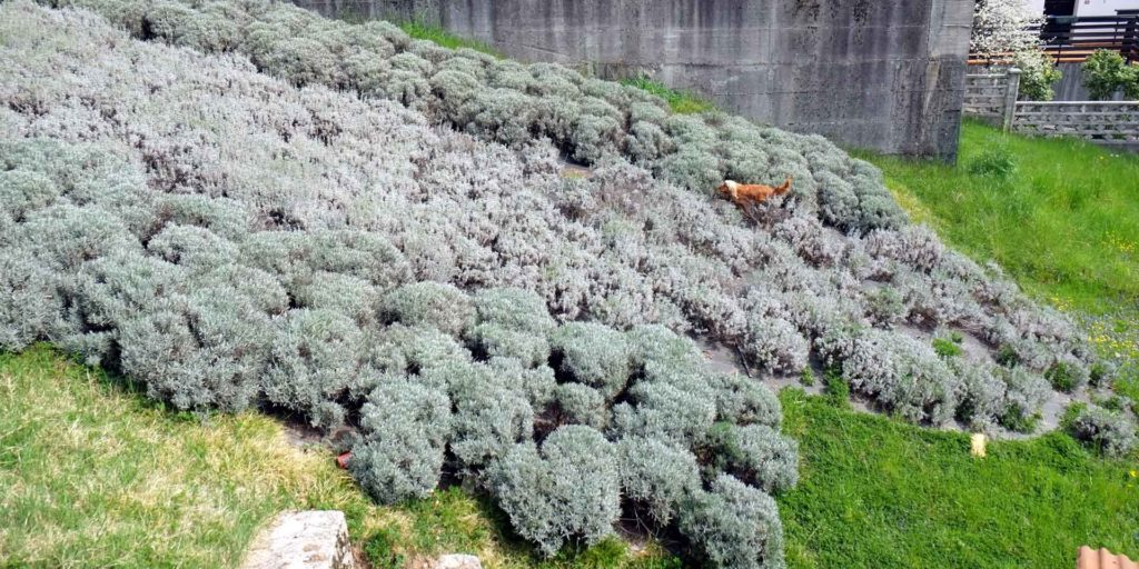 Il prato di lavanda di Mevania Marchi parte del Consorzio Valli e Dolomiti friulane