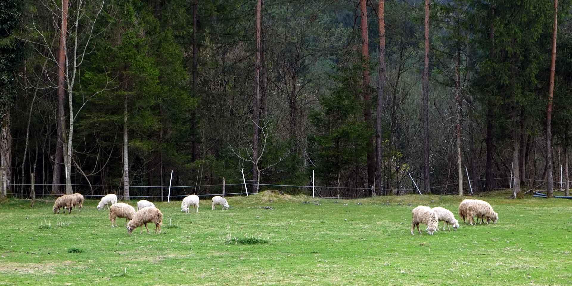 Pecore da latte di Sottosopra parte del consorzio delle valli e delle dolomiti friulane